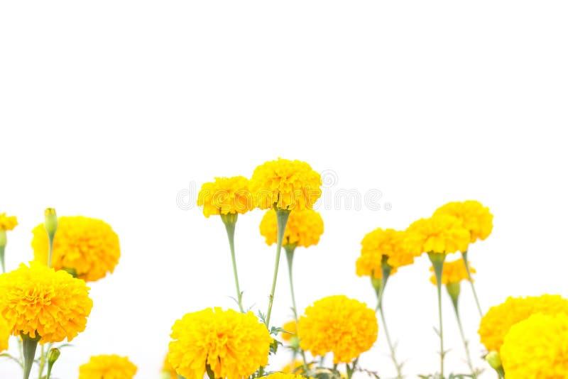 Il tagete giallo fiorisce sulla pianta isolata su bianco immagini stock