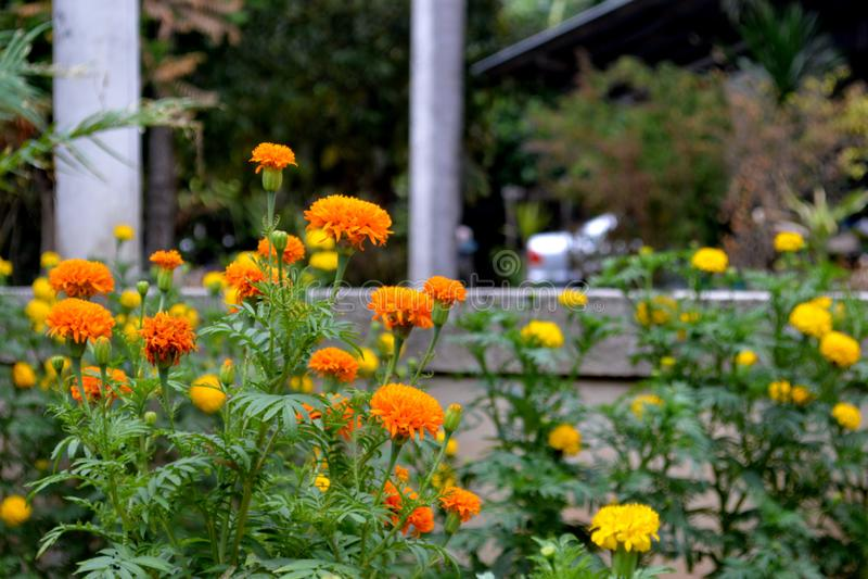 Il tagete nel giardino fotografie stock libere da diritti
