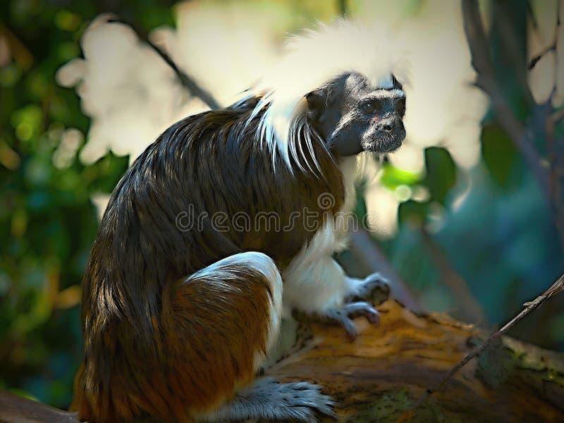 Il Tamarin Saguinus Edipo di Cottontop, anche conosciuto come il Tamarin di Pinché, è una piccola scimmia di nuovo mondo che pes illustrazione vettoriale