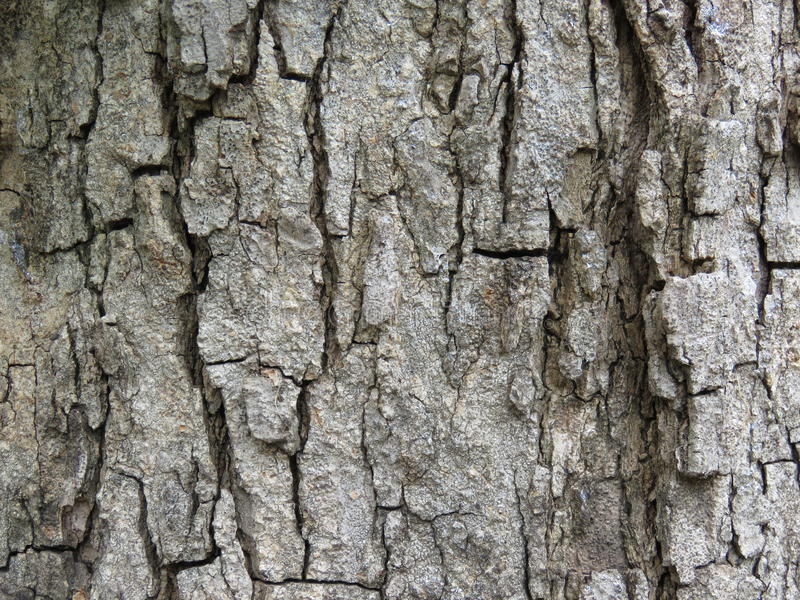 Il tamarindo è legno tropicale fotografia stock libera da diritti