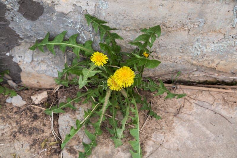 Il Taraxacum giallo dei fiori del dente di leone su un fondo di un wallseedling di pietra immagine stock libera da diritti