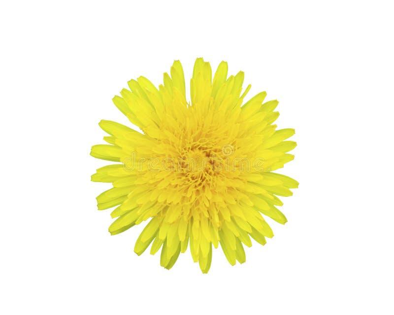 Il taraxacum officinale, bello fiore giallo del dente di leone ha isolato immagine stock libera da diritti