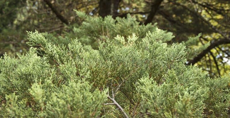 Il taxodium distichum è un albero di conifere deciduo della famiglia Cypress immagine stock