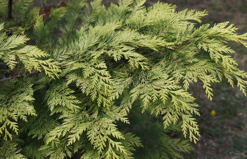Il taxodium distichum è un albero di conifere deciduo della famiglia Cypress fotografie stock libere da diritti