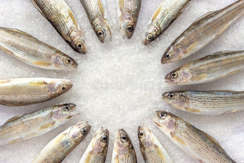Il temolo siberiano del fiume ha allineato nel ircle sui cristalli a grana grossa bianchi del sale immagine stock libera da diritti