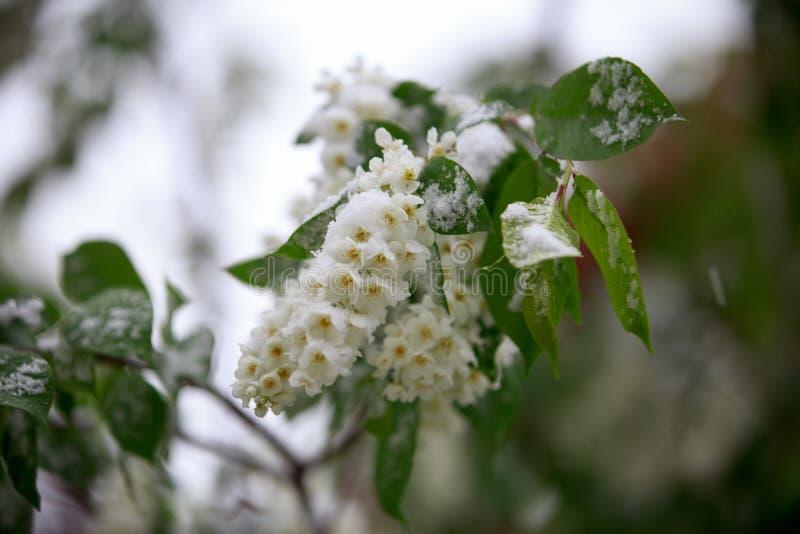 Il tempo anormale in primavera in Siberia in una notte dentro può, coperto di neve e di fioritura fotografia stock libera da diritti