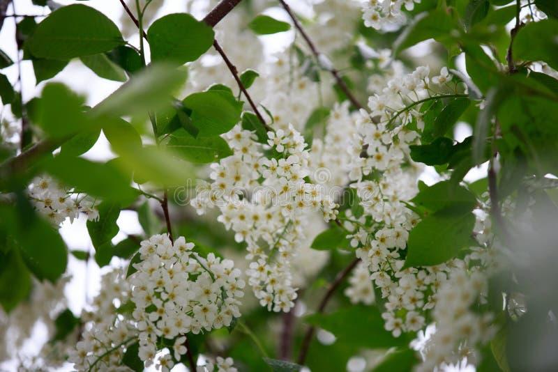 Il tempo anormale in primavera in Siberia in una notte dentro può, coperto di neve e di fioritura fotografia stock