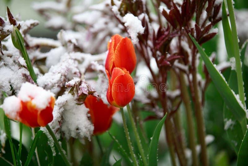 Il tempo anormale in primavera in Siberia in una notte dentro può, coperto di neve e di fioritura fotografie stock