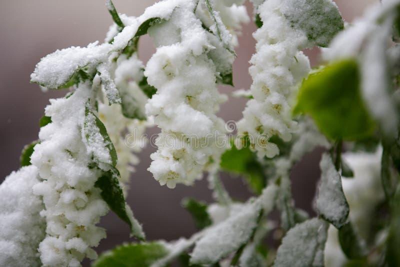 Il tempo anormale in primavera in Siberia in una notte dentro può, coperto di neve e di fioritura immagini stock libere da diritti