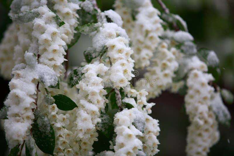 Il tempo anormale in primavera in Siberia in una notte dentro può, coperto di neve e di fioritura fotografie stock libere da diritti