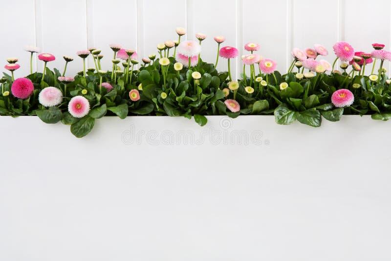 Il tempo di molla rosa della margherita fiorisce su fondo di legno bianco per il de immagini stock