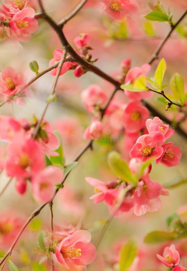 Il tempo di primavera… è aumentato foglie, sfondo naturale Rami rosa di fioritura Macro, effetto della sfuocatura e fuoco seletti fotografia stock