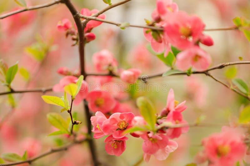 Il tempo di primavera… è aumentato foglie, sfondo naturale Rami rosa di fioritura Macro, effetto della sfuocatura e fuoco seletti fotografia stock libera da diritti