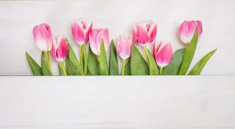 Il tempo di primavera… è aumentato foglie, sfondo naturale Tulipani rosa su fondo blu, spazio della copia, vista superiore, inseg immagini stock libere da diritti
