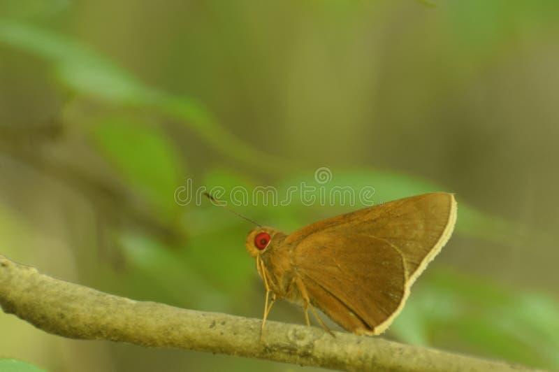 Il terreno comunale di stupore ritinge la farfalla di aria di matapa immagini stock