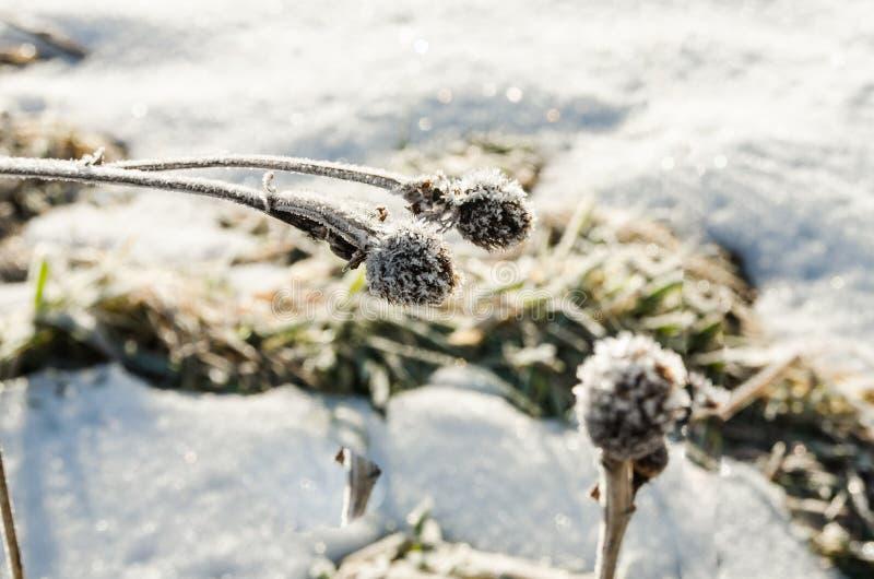 Il terreno coperto di neve e di fiori secchi immagine stock libera da diritti