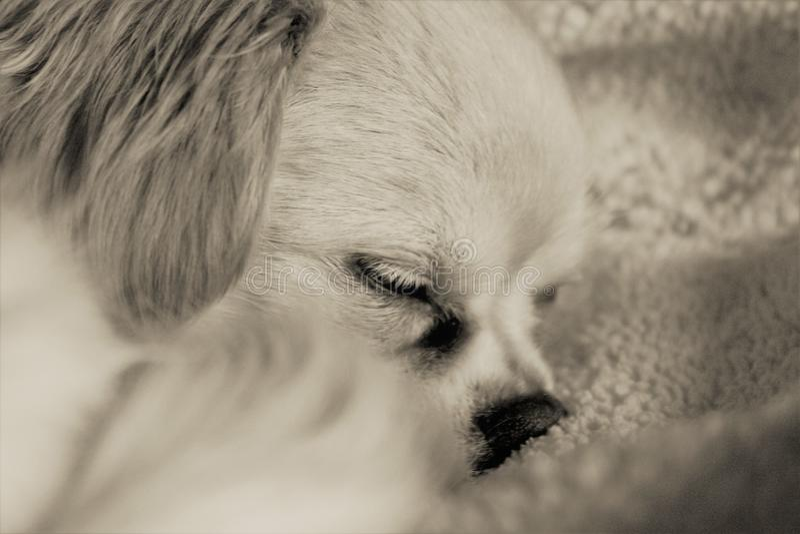 Il Terrier di lingua gallese digiuna addormentato immagine stock