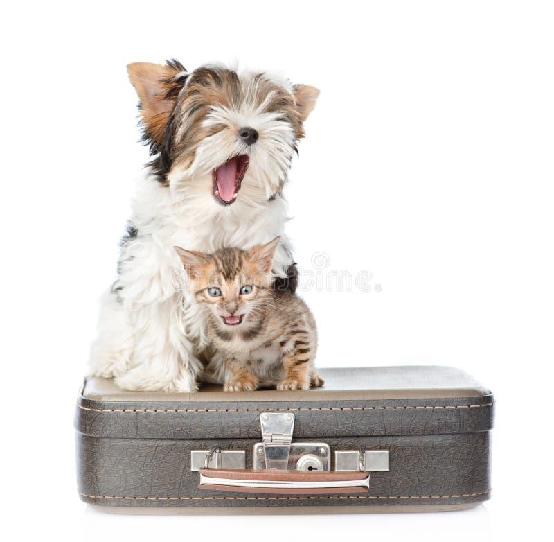 Il terrier di sbadiglio del Biewer-Yorkshire inseguono ed il gatto del Bengala che si siede su una borsa Isolato su bianco immagini stock libere da diritti