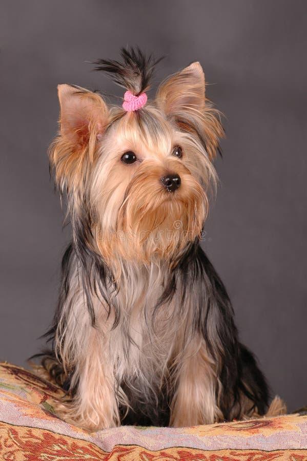 Il terrier di Yourkshire si siede fotografie stock libere da diritti