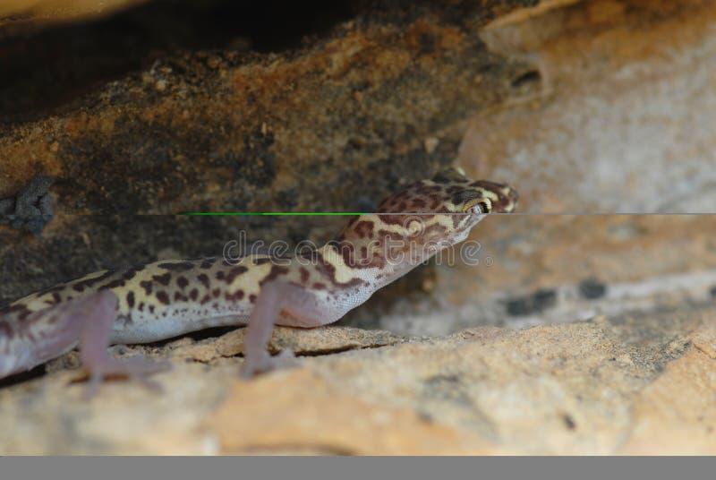 Il Texas ha legato il Gecko fotografia stock libera da diritti