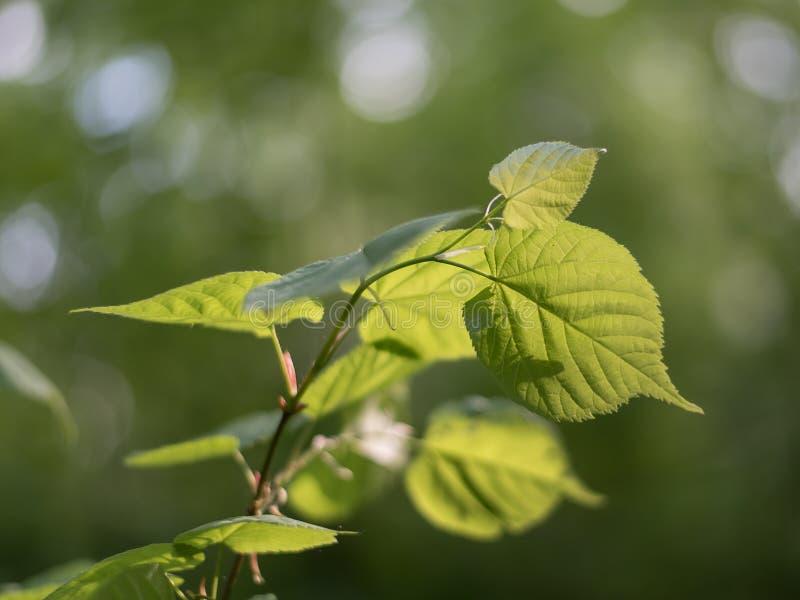 Il tiglio lascia al sole su un fondo di fogliame verde nella foresta fotografie stock