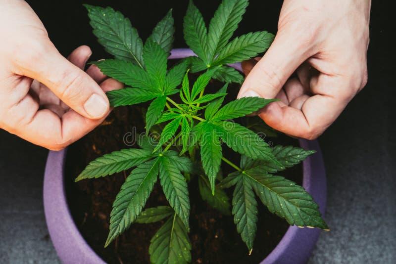 Il tipo sta tenendo le foglie della pianta di marijuana medica Cannabis che cresce dell'interno fotografie stock