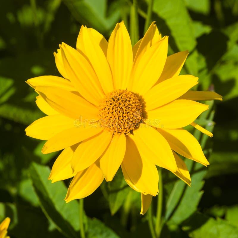 Il topinambur, Sunroot, Topinambour, la terra Apple o il helianthus tuberosus ingialliscono il primo piano del fiore, fuoco selet fotografia stock libera da diritti