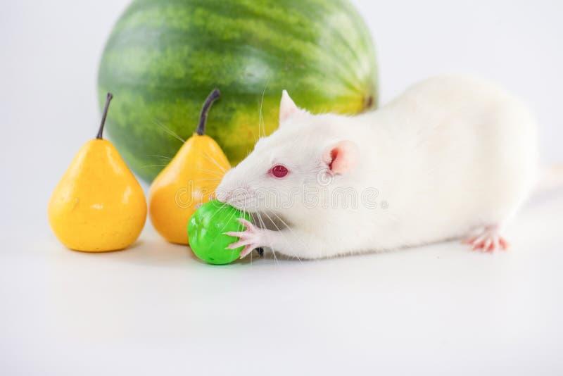 Il topo bianco mangia una mela Simbolo del calendario bacche immagini stock