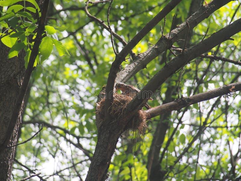 Il tordo ha volato al nido per alimentare i pulcini fotografia stock libera da diritti