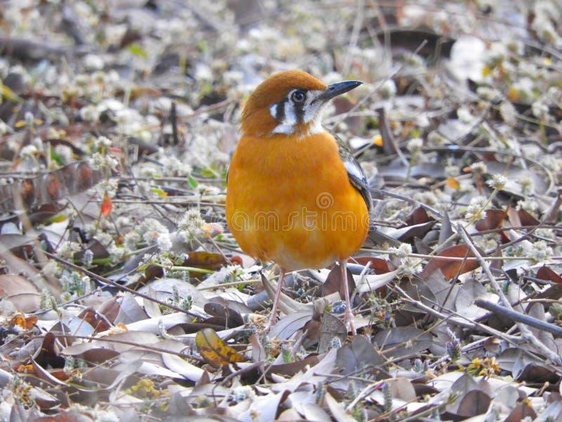 Il tordo intestato arancio da una prospettiva più bassa che è abbastanza unica, ha trovato nel parco nazionale del pench, India fotografie stock libere da diritti