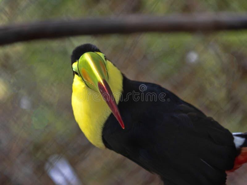il toucane Chiglia-fatturato, sulfuratus di Ramphastos, ha un grande becco colorfully colorato, Guatemala immagini stock