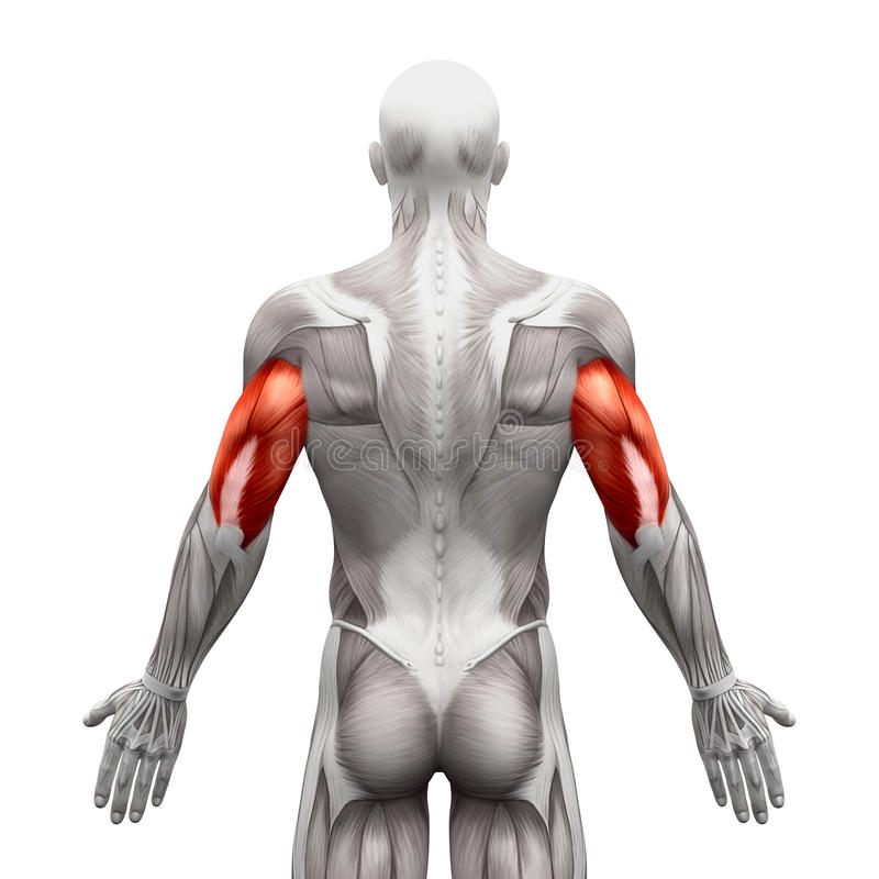 Il tricipite Muscles - i muscoli dell'anatomia isolati su illustr bianco- 3D royalty illustrazione gratis