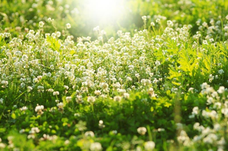 Il trifoglio bianco fiorisce in primavera, profondità di campo bassa fotografia stock