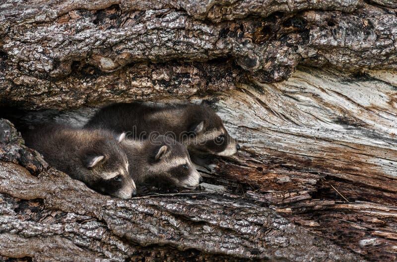 Il trio dei procioni del bambino (lotor del Procyon) dà una occhiata a fuori dall'albero immagini stock