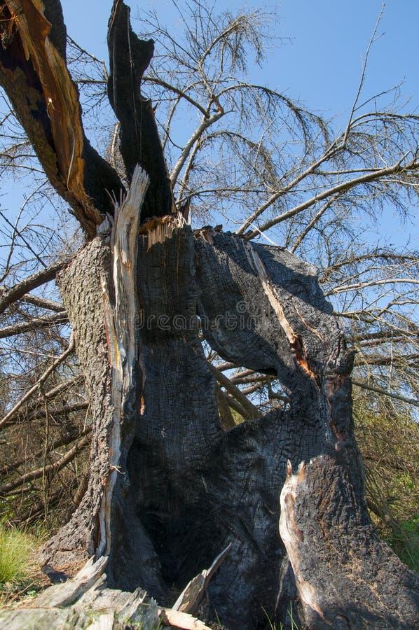 Il tronco dell'abete ha colpito da fulmine, dopo una tempesta dura fotografia stock libera da diritti