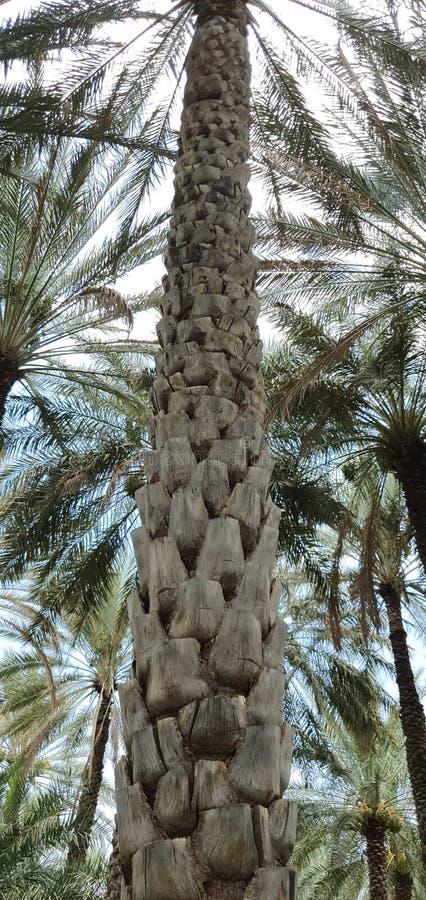 Il tronco della palma estendere alla cima fotografie stock libere da diritti