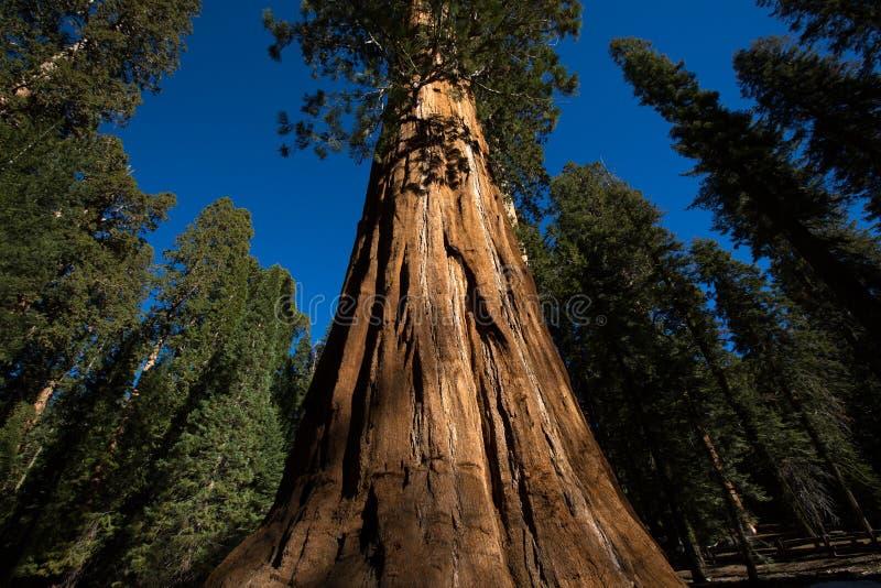 Il tronco di un albero antico di sequia in California immagine stock