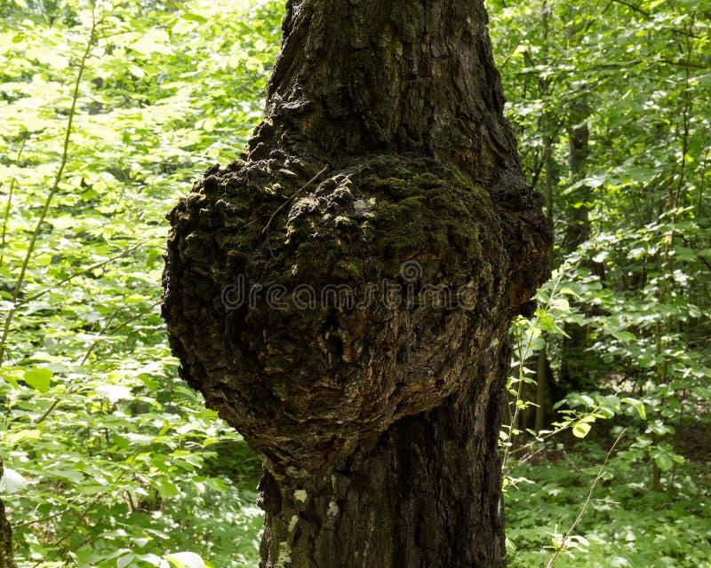 Il tronco di un albero di betulla con una conseguenza calcolata operata sotto forma di cuore enorme Sosta della citt? immagini stock libere da diritti