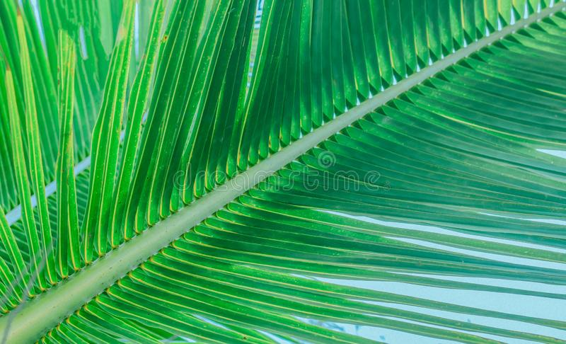 Il tronco di un ramo con le foglie di una palma immagini stock libere da diritti