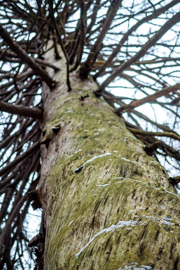 Il tronco di vecchio abete rosso nella foresta senza corteccia fotografie stock