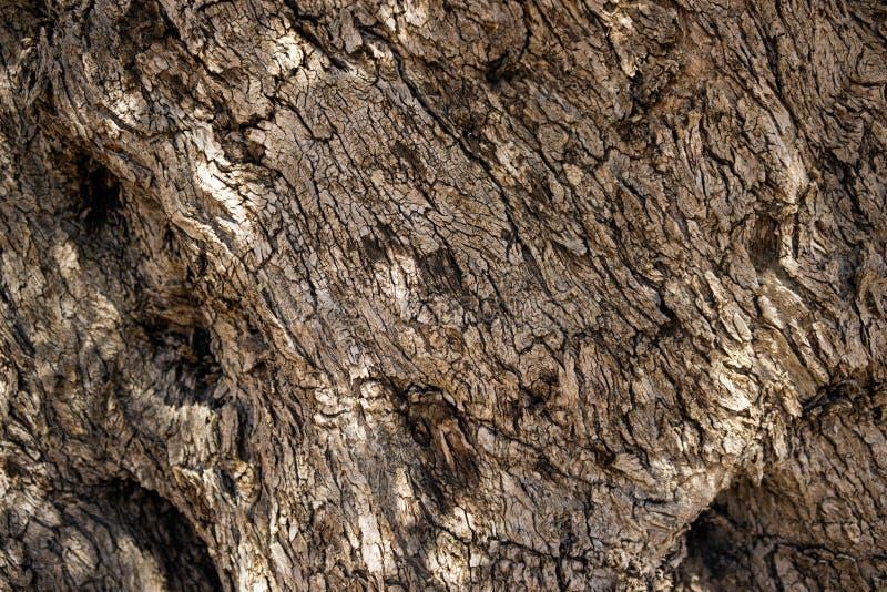 Il tronco vivente di vecchio di olivo La struttura della corteccia o fotografie stock