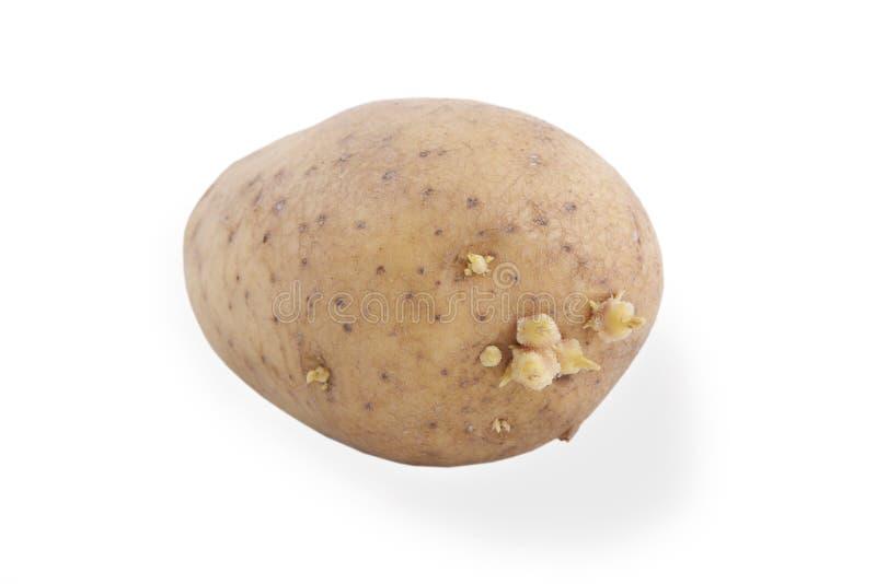 Il tubero della patata con germogliare i germogli, isolati su bianco fotografia stock libera da diritti