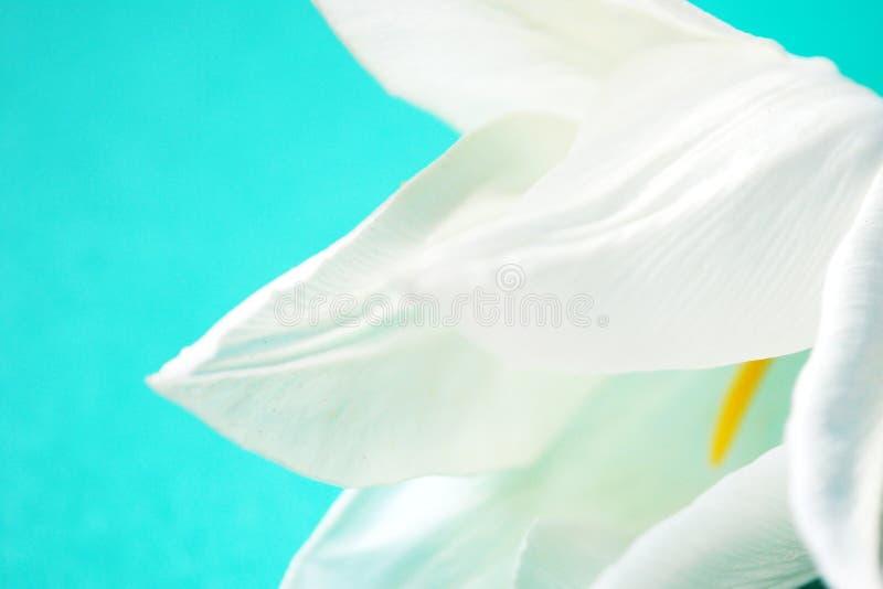 Il tulipano della Rosa. fotografie stock