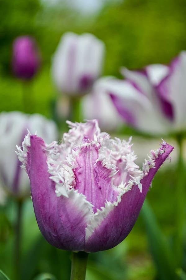 Il tulipano porpora guarnito di stupore con bianco orla i petali fotografia stock libera da diritti