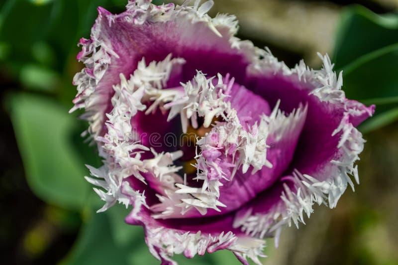 Il tulipano porpora guarnito di stupore con bianco orla i petali immagini stock