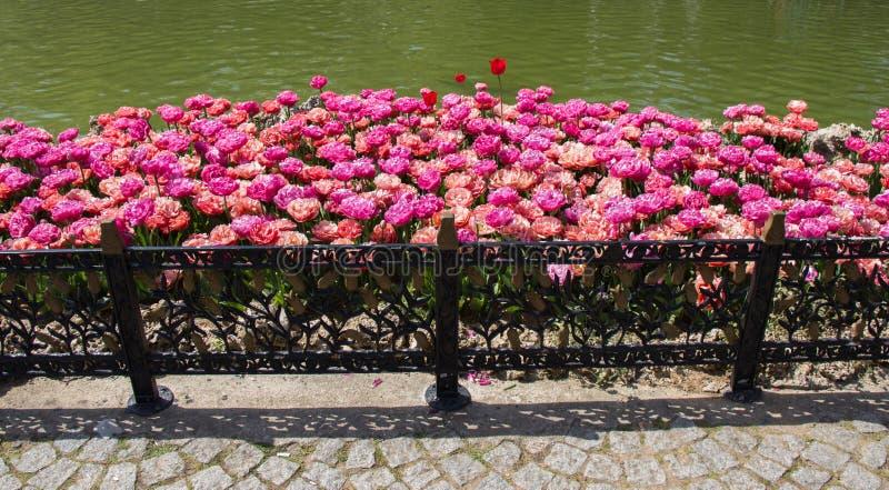 Il tulipano variopinto fiorisce bloomby lo stagno immagini stock libere da diritti