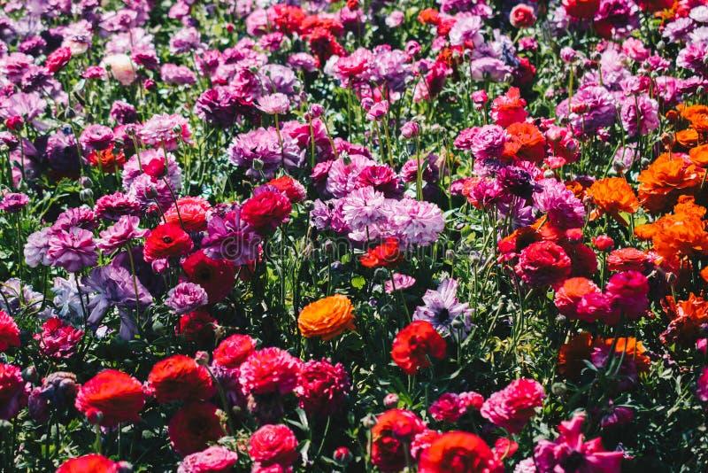 Il tulipano variopinto fiorisce la fioritura nel giardino fotografia stock libera da diritti