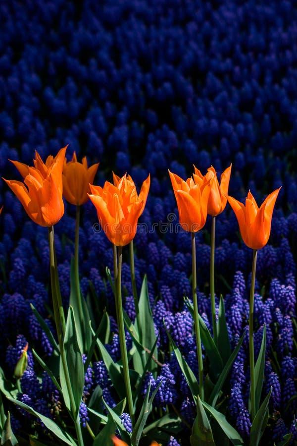Il tulipano variopinto fiorisce la fioritura nel giardino immagine stock
