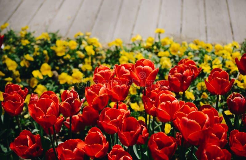Il tulipano variopinto fiorisce la fioritura nel giardino immagine stock libera da diritti