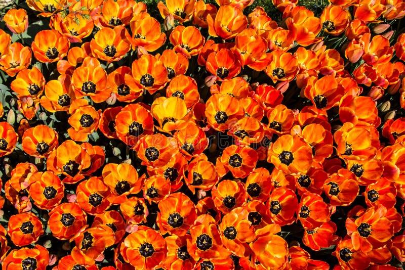 Il tulipano variopinto fiorisce la fioritura nel giardino fotografie stock libere da diritti
